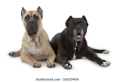 Cane Corso dogs isolated over white background