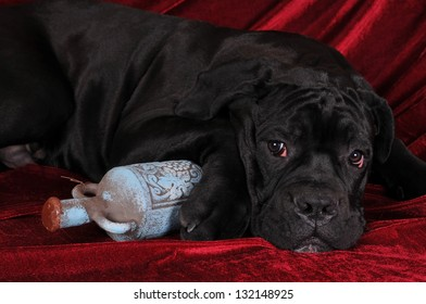Cane corso four month puppy portrait with old bottle lying on red velvet and looking aside
