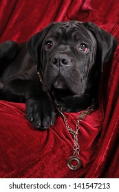 Cane corso four month puppy portrait looking at camera