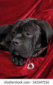 Cane corso four month puppy portrait