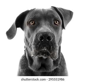 Cane corso italiano dog, isolated on white