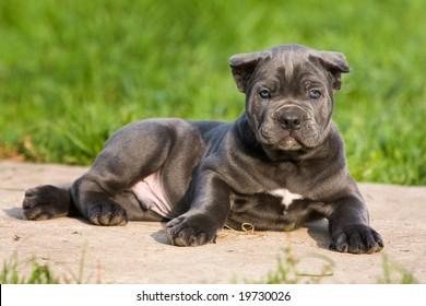 Cane Corso Italiano puppy in outdoor settings