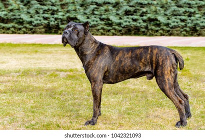 Cane Corso looks in camera. The Cane Corso stands on the green grass in the park.