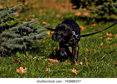 Cane Corso on green grass running funny