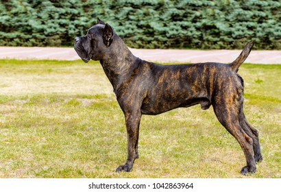 Cane Corso in profile. The Cane Corso stands on the green grass in the park.