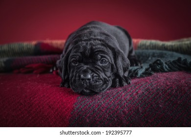 Cane Corso puppies in the interior, fireplace