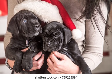 Cane corso puppy at Christmas. New year, cute puppy at female hand. Pet and animal, dog year, gift. winter party. Year of dog, holiday celebration.