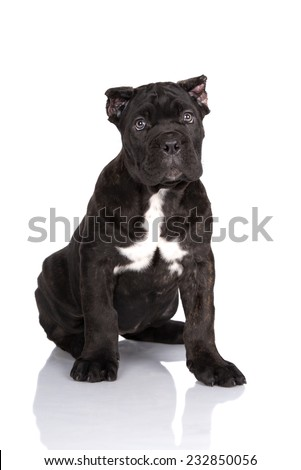 Cane Corso Puppy Cropped Ears Stock Photo Edit Now 232850056