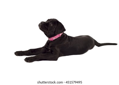 Cane Corso puppy lying on a white background