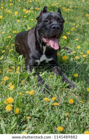 Cane Corso Puppy Lying On Green Stock Photo Edit Now 1145489882