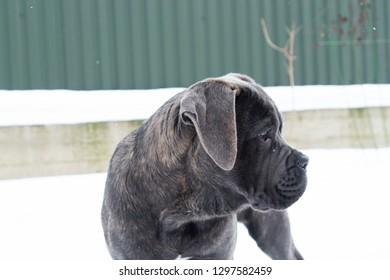 Cane corso puppy near house outdoor in winter profile portrait