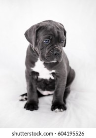Cane Corso puppy on a white background