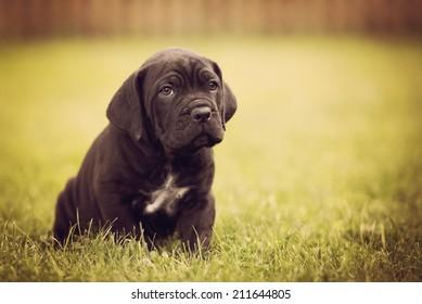cane corso puppy portrait
