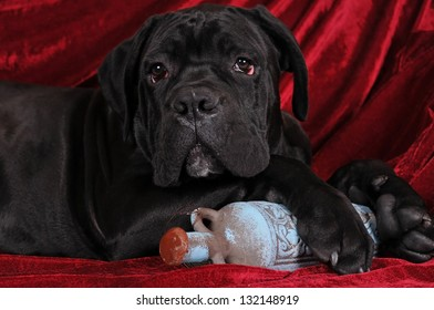 Cane corso puppy portrait with old blue bottle