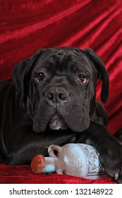 Cane corso puppy portrait with old blue bottle on red velvet
