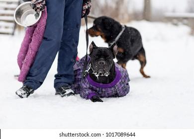 Cane Corso for a walk in winter, portrait