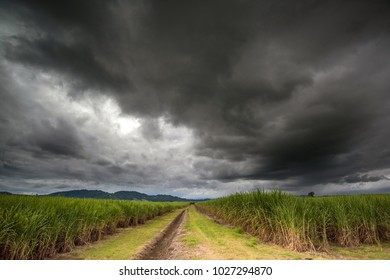 Cane fields during the storm