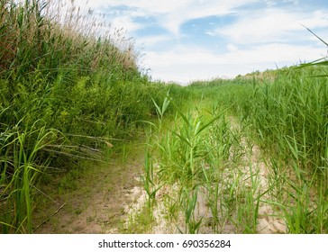 cane, reed, rush, thatch, frail. reeds growing along the road. Kazakhstan. Altyn Emel National Park