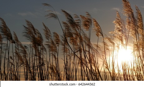 cane thicket at sunset on lake Pusiano, Lombardy, Italy. It is a mere close to lake Como.