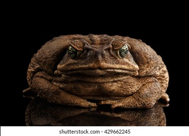 Cane Toad - Bufo marinus, giant neotropical or marine toad Isolated on Black Background, front view