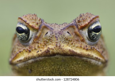 Cane Toad - Bufo marinus - also known as a giant neotropical or marine toad.  Native to Central and South America but an introduced pest to Australia. Close-up on face