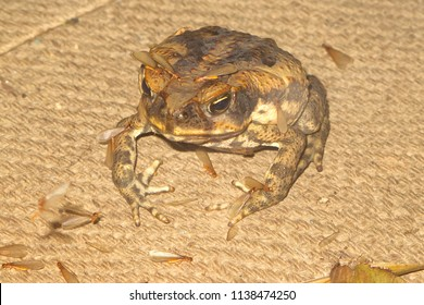 Cane toad with flying termites sitting on a burlap sack