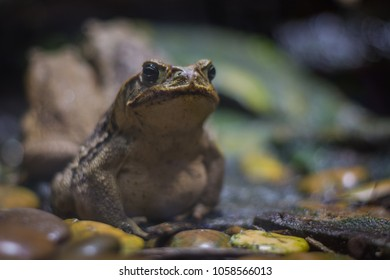 Cane toad (giant neotropical toad) standing in aquarium in Berlin (Germany)