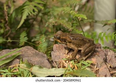 Cane Toad in Queensland Australia, which is wet from swimming in a pot of rain water