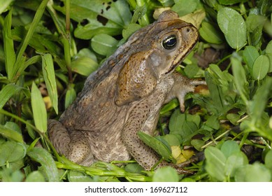 Cane Toad (Rhinella marina) in Costa Rica rainforest