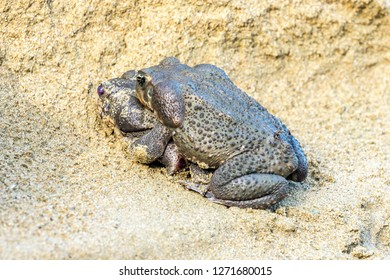 Cane Toads, (Rhinella marina) two large toads mating in the sand beside a fresh water creek in Castara Village, West Indies, Caribbean. The largest toad has a number of ticks.  Landscape, horizontal.