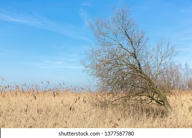 Canebrakes with bare tree in wetlands of Dutch National Park Oostvaardersplassen