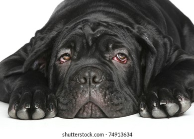 Cane-corso dog puppy Close-up portrait on a white background
