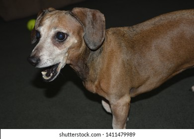 CANINE 1. Of, relating to, or characteristic of the canids. 2. Of, relating to, or being one of the pointed conical teeth located between the incisors and the first bicuspids. Canidae. Canine. Dog.