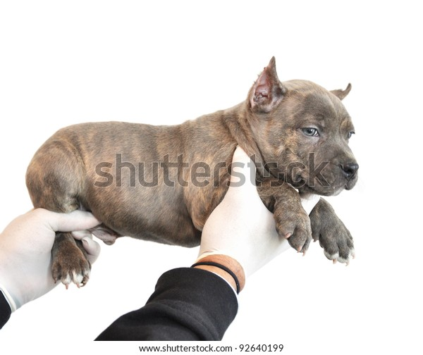 Canine American Bully Tiger Striped Puppy Stock Photo Edit