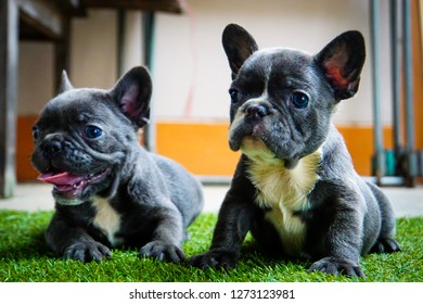 Canine puppies are cute and mischievous. French bulldog puppies