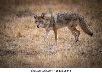 Canis latrans, Coyote is trying to catch the mouse, walking is the dry grass in the Yellowstone National Park, USA