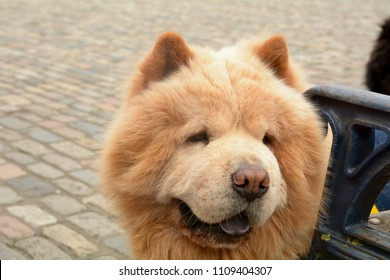 Canis lupus familiaris - Chow Chow or Puffy Lion dog - one of a