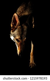 Canis lupus (familiaris) - Czechoslovakian wolfdog, often confused with a genuine grey wolf, stepping out of the darkness with its head and paw. Concept of a powerful, strong, dangerous character dog.