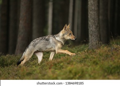Canis lupus - Young cub of Grey wolf run in forest