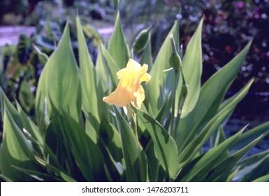 Canna flaccida - Golden Canna