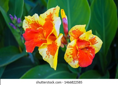 Canna flower also called canna lily in the garden. Beautiful orange and yellow tropical flowers close up.