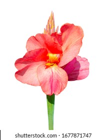canna flower isolated on white background. Red Canna Lily Plant Flower