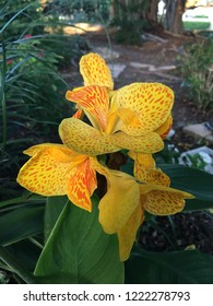 Canna flower Yellow King Humbert Canna Rhizome blossom bloom flowers