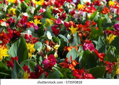 canna flowers , canna lily
