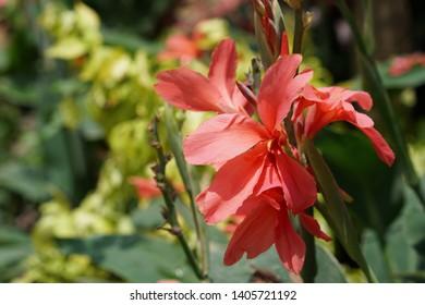 Canna glauca , Indian shot or African arrowroot, Sierra Leone, cannaceae