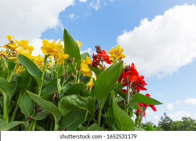 Canna with green leaves and yellow red flowers under blue sky and white clouds outdoors,Canna indica