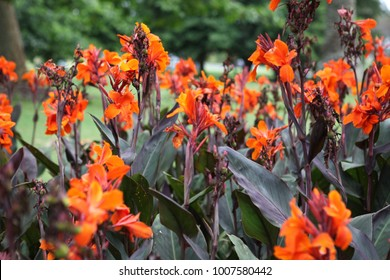 Canna indica, commonly known as Indian shot, African arrowroot, edible canna, purple arrowroot, Sierra Leone arrowroot, is a plant species in the family Cannaceae