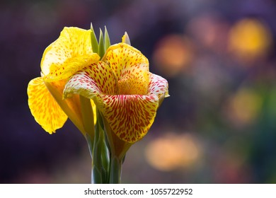 Canna indica, commonly known as Indian shot, African arrowroot, It is native to much of South America, Central America, the West Indies, Mexico, and the southeastern United States