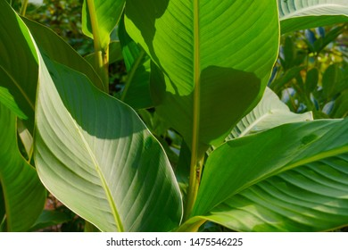 Canna indica, commonly known as Indian shot, African arrowroot, edible canna, purple arrowroot, Sierra Leone arrowroot. A plant with beautiful leaves.