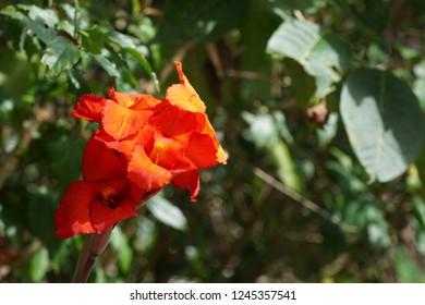 Canna indica flower or Sierra Leone arrowroot, Indian shot, purple arrowroot